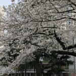 まだまだ寒い土手の花見  🌸🌸  865