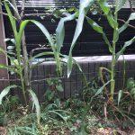 トウモロコシの己生え  1048